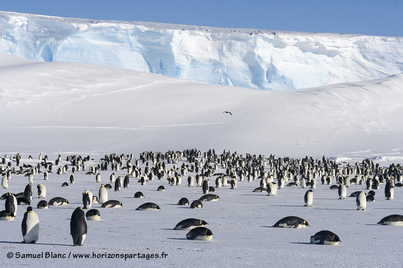 Colonie de manchots empereurs en Antarctique