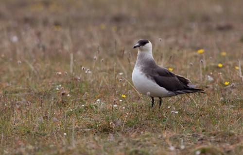 Labbe parasite au Svalbard
