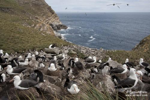 Colonie d'albatros à sourcils noirs aux Falkland (Malouines)