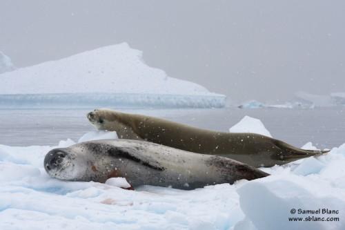 Léopard de mer et phoque crabier sur de la glace dérivante en Antarctique