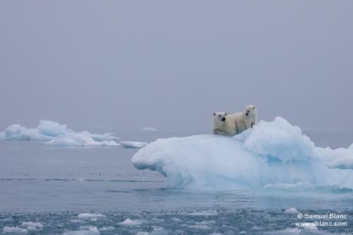 Ours polaires sur un iceberg au Spitzberg