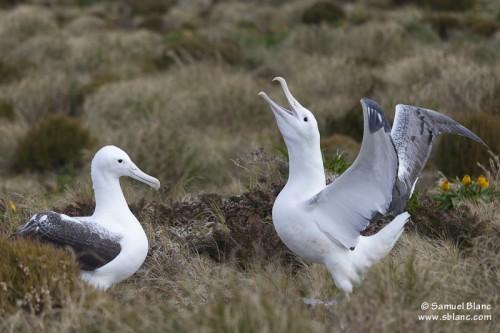 Albatros royaux du Sud à l'île Campbell