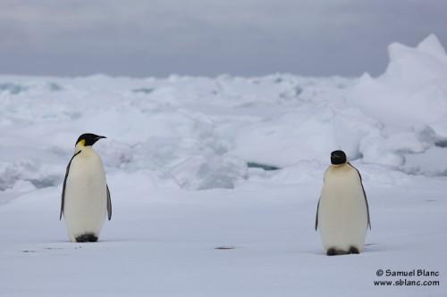 Manchots empereurs sur la glace dérivante au large de la Terre Adélie