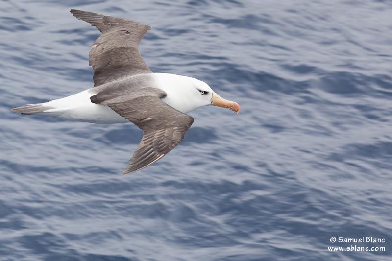 Albatros de Campbell aux îles Campbell, Nouvelle-Zélande