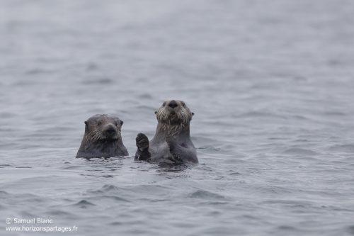 Loutres de mer aux îles Kouriles