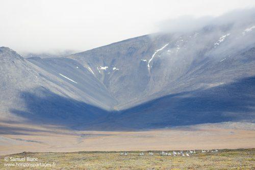 Paysage et oies des neiges à l'île Wrangel en Tchoukotka