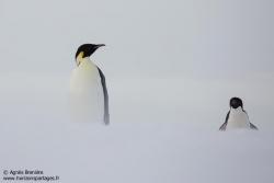 Manchot Adélie et empereur / Emperor and Adélie penguin