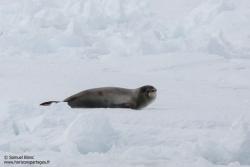Phoque de Ross / Ross seal