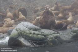 Lion de mer de Steller / Steller sea lion
