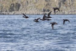 Arlequin plongeur / Arlequin duck