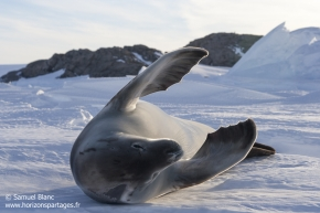 Phoque crabier / Crabeater seal