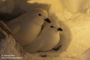 Pétrel des neiges / Snow petrel