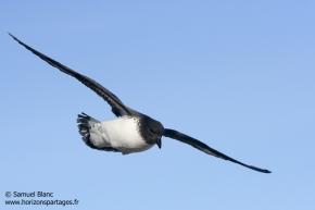Damier du Cap / Cape petrel