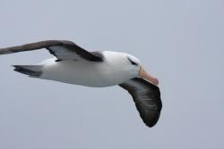 Albatros à sourcil noir / Black-browed Albatross