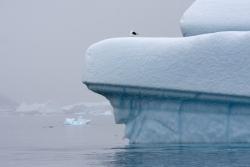 Iceberg et Goéland dominicain / Iceberg and Kelp Gull