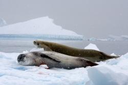Léopard de mer et phoque crabier / Leopard and Crabeater Seal