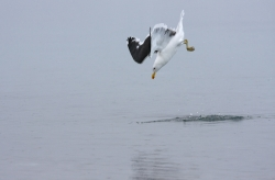 Goéland dominican / Kelp Gull