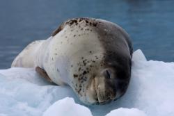 Léopard de mer / Leopard Seal