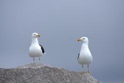 Goéland dominicain / Kelp Gull20080127_163502
