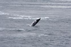 Petit rorqual nain / Dwarf Minke Whale