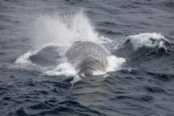 Rorqual commun / Fine whale