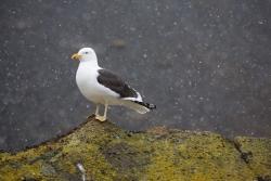 Goéland dominicain / Kelp Gull