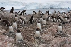 Manchot papou / Gentoo Penguin