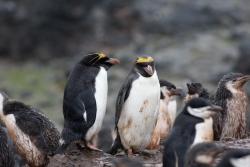 Gorfou macaroni / Macaroni Penguin