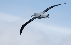 Albatros hurleur / Wandering Albatross