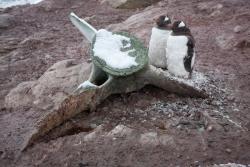 Manchots papou et os de baleine / Gentoo Penguins and whale bones