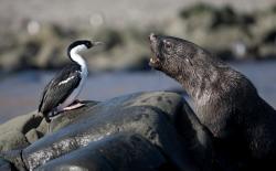 20090227_1555Cormoran antarctique et Otarie à fourrure / Antarctic Shag and Fur Seal24