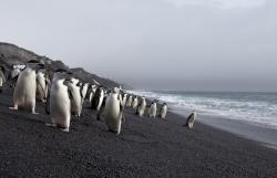 Manchots à jugulaire / Chinstrap Penguins