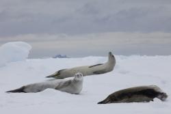 Phoques crabiers / Crabeater Seals