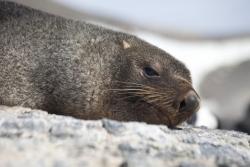 Otarie à fourrure antarctique / Antarctic Fur Seal
