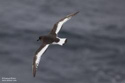 Pétrel antarctique / Antarctic Petrel