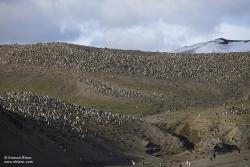 Manchots à jugulaire / Chinstrap Penguin