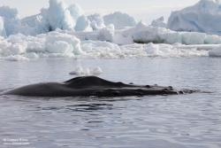 Baleine à bosse / Humpback Whale
