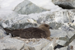Skua antarctique / South Polar Skua