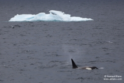 Orque épaulard / Killer Whale