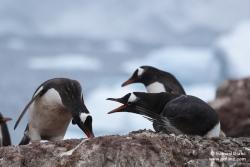 Manchots papous / Gentoo Penguins
