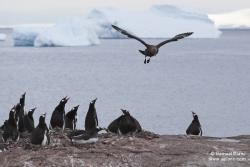Skua antarctique survolant une colonie de manchots papous