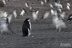 Manchot à jugulaire / Chinstrap Penguin