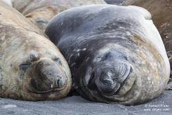 Eléphants de mer austral / Southern Elephant Seal