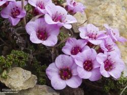 Saxifrage à feuilles opposées / Purple Saxifrage