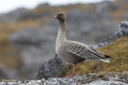 Oie à bec court / Pink-footed Goose