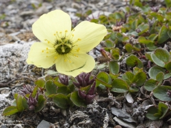 Pavot du Svalbard et Saule polaire / Svalbard Poppy and Polar Willow