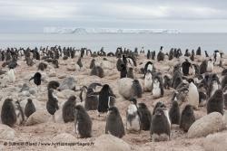 Colonie de manchots Adélie à l'ile Possession / Adélie Penguin colony at Possession Island