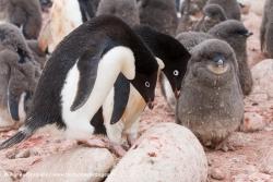 Manchots Adélie / Adélie Penguin