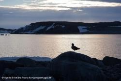 Labbe de McCormick / South Polar Skua
