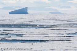 Manchot empereur et banquise / Emperor Penguin and sea ice